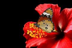 Vlinder over rode hibiscus Stock Fotografie