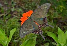 Vlinder (Papilio-maackii) 12 Royalty-vrije Stock Foto