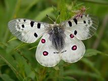 Vlinder Parnassius Apollo. Royalty-vrije Stock Foto