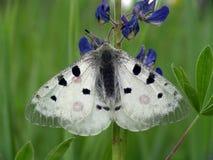 Vlinder Parnassius Apollo. Royalty-vrije Stock Afbeeldingen