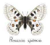 Vlinder Parnassius Apollonius. Royalty-vrije Stock Afbeeldingen