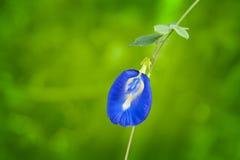 Vlinder Pea Flower Royalty-vrije Stock Afbeeldingen