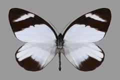 Vlinder Perrhybris Lorena Stock Afbeelding