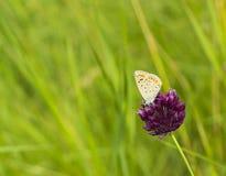 Vlinder Plebejus argus op bloem van roze klaver in de dag van de weidezomer De zilveren-beslagen blauwe vlinder van Plebejus argy royalty-vrije stock afbeeldingen