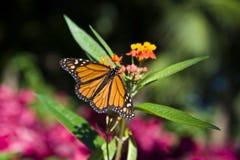 Vlinder - plexippus van Danaus van de Monarch Stock Afbeelding