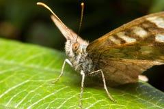 Vlinder portret Stock Foto