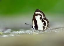 Vlinder (Rechte Pierrot), Thailand Stock Foto