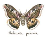 Vlinder Saturnia Pavonia. De imitatie van de waterverf. Royalty-vrije Stock Fotografie