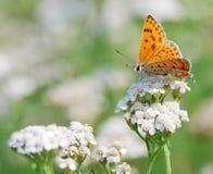 Vlinder Schaars Koper stock fotografie