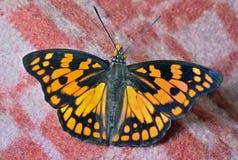Vlinder (Sephisa-dichroa) Stock Afbeelding