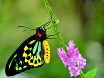 Vlinder, Steenhopen Birdwing in vogelhuis Royalty-vrije Stock Afbeeldingen