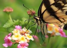 Vlinder Swallowtail Stock Afbeeldingen