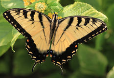 Vlinder Swallowtail Stock Foto's