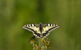 Vlinder, Swallowtail Royalty-vrije Stock Afbeelding