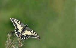 Vlinder, Swallowtail Royalty-vrije Stock Afbeeldingen