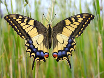 Vlinder - Swallowtail stock fotografie