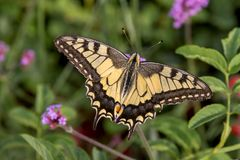 Vlinder Swallowtail Papilio machaon royalty-vrije stock fotografie