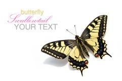 Vlinder Swallowtail (Papilio machaon) Royalty-vrije Stock Foto's