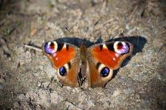 Vlinder ter plaatse Royalty-vrije Stock Fotografie