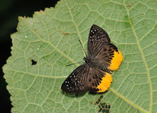 Vlinder, Thailand Royalty-vrije Stock Fotografie