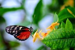 Vlinder, Tiger Longwing stock foto's