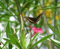 Vlinder tijdens de vlucht Stock Afbeelding
