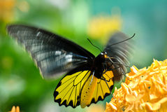 Vlinder tijdens de vlucht Stock Foto's