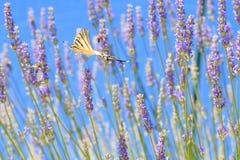 Vlinder tijdens de vlucht Stock Afbeeldingen