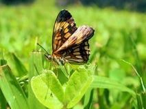 Vlinder in Tikal Stock Fotografie