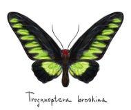 Vlinder Troganoptera Brookina (mannetje). Royalty-vrije Stock Afbeelding
