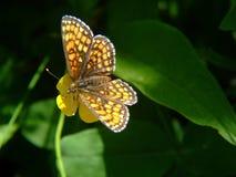 Vlinder in tuin Stock Fotografie