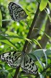 Vlinder twee Royalty-vrije Stock Foto's