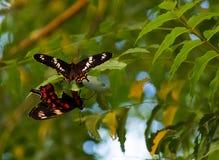 Vlinder twee Stock Foto