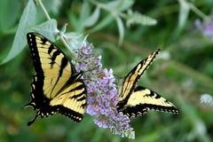 Vlinder twee Swallowtail Royalty-vrije Stock Afbeeldingen