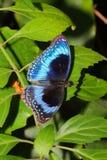 Vlinder - Ulysses Butterfly - Papilio ulysses stock afbeeldingen