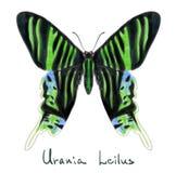 Vlinder Urania Leilus. De imitatie van de waterverf. Stock Foto's