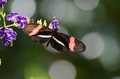 Vlinder van de beeld de Perfecte Brievenbesteller op Kleine Purpere Bloemen stock afbeeldingen