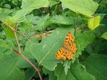 Vlinder van Europa Stock Afbeeldingen