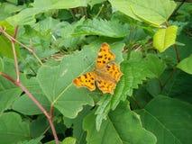 Vlinder van Europa Stock Foto