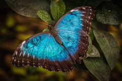 Vlinder van Peleides de Blauwe Morpho Stock Foto