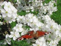 Vlinder Vanessa Io Stock Afbeelding