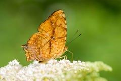 Vlinder (vlinderreeks) Royalty-vrije Stock Foto's
