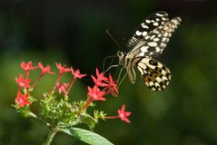 Vlinder (vlinderreeks) Stock Foto's