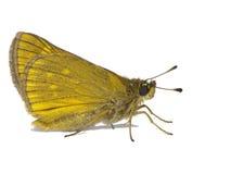 Vlinder in wit Royalty-vrije Stock Afbeelding