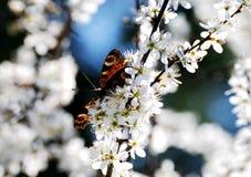 Vlinder in witte bloesems Royalty-vrije Stock Afbeeldingen