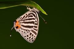 Vlinder/Yamamo-tozephyrus Royalty-vrije Stock Afbeelding