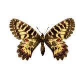 Vlinder - Zuidelijke Slinger Stock Foto's