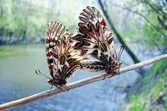 Vlinder Zuidelijke Slinger Zerynthiapolyxena paar, macro royalty-vrije stock foto