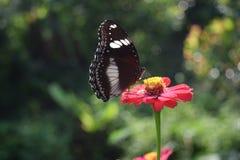 Vlinder zuigende honing op bloemen Stock Fotografie
