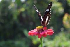 Vlinder zuigende honing op bloemen Stock Afbeeldingen